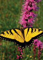 PHOTO: tiger swallowtail butterfly