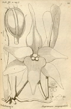 ILLUSTRATION: Angraecum sesquipedale illustrated book plate