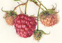 """Raspberries"" illustration by Denise Walser-Kolar"