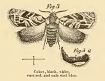ILLUSTRATION: moth markings by B.D. Walsh