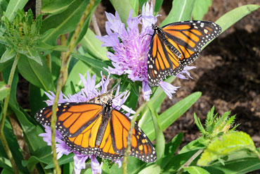 PHOTO: butterfly gardening