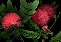 Calliandra by Laurie Tennent