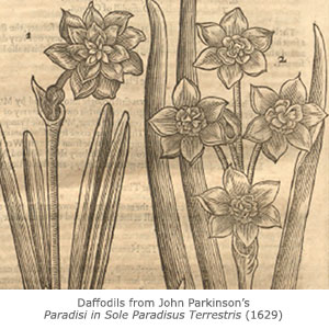 Daffodils from John Parkinson's Paradisi in Sole Paradisus Terrestris (1629).