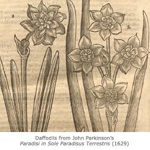 Daffodils from John Parkinson's Paradisi in Sole Paradisus Terrestris (1629).