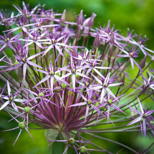 Allium Christophii Stars of Persia