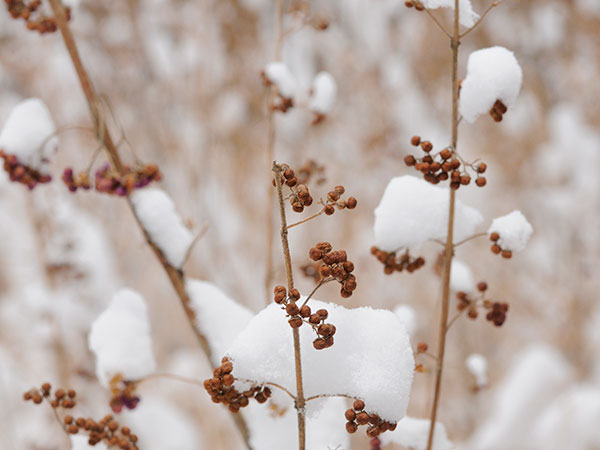 winter shrubs
