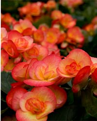 Begonia March