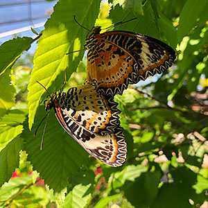 Mating leopard lacewings (Cethosia cyane)