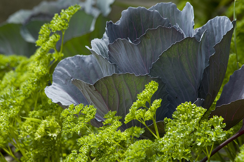 Cabbage and parsley