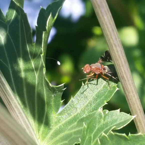 PHOTO: a fly of some kind is perched on a leaf, partially hidden by the stem of the plant.