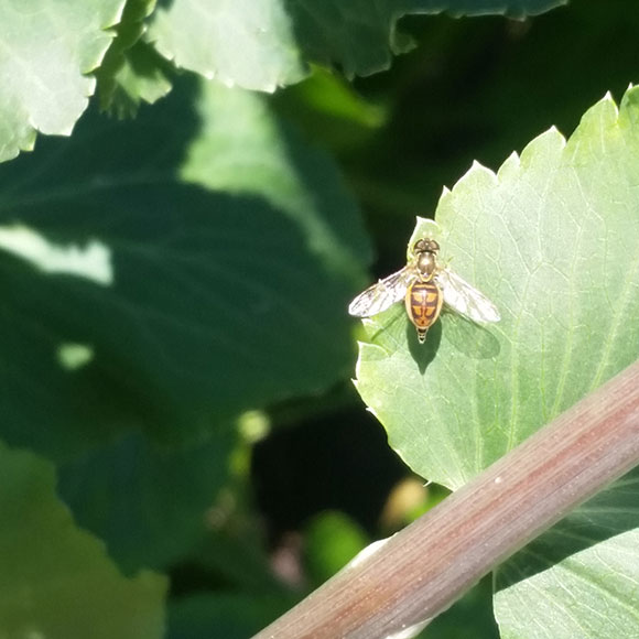 PHOTO: flower fly on a leaf.