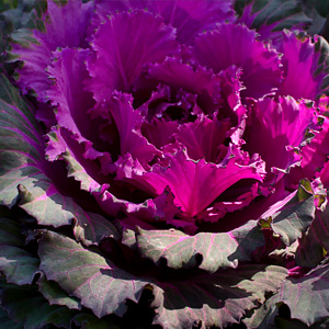 Brassica varieties - ornamental cabbage