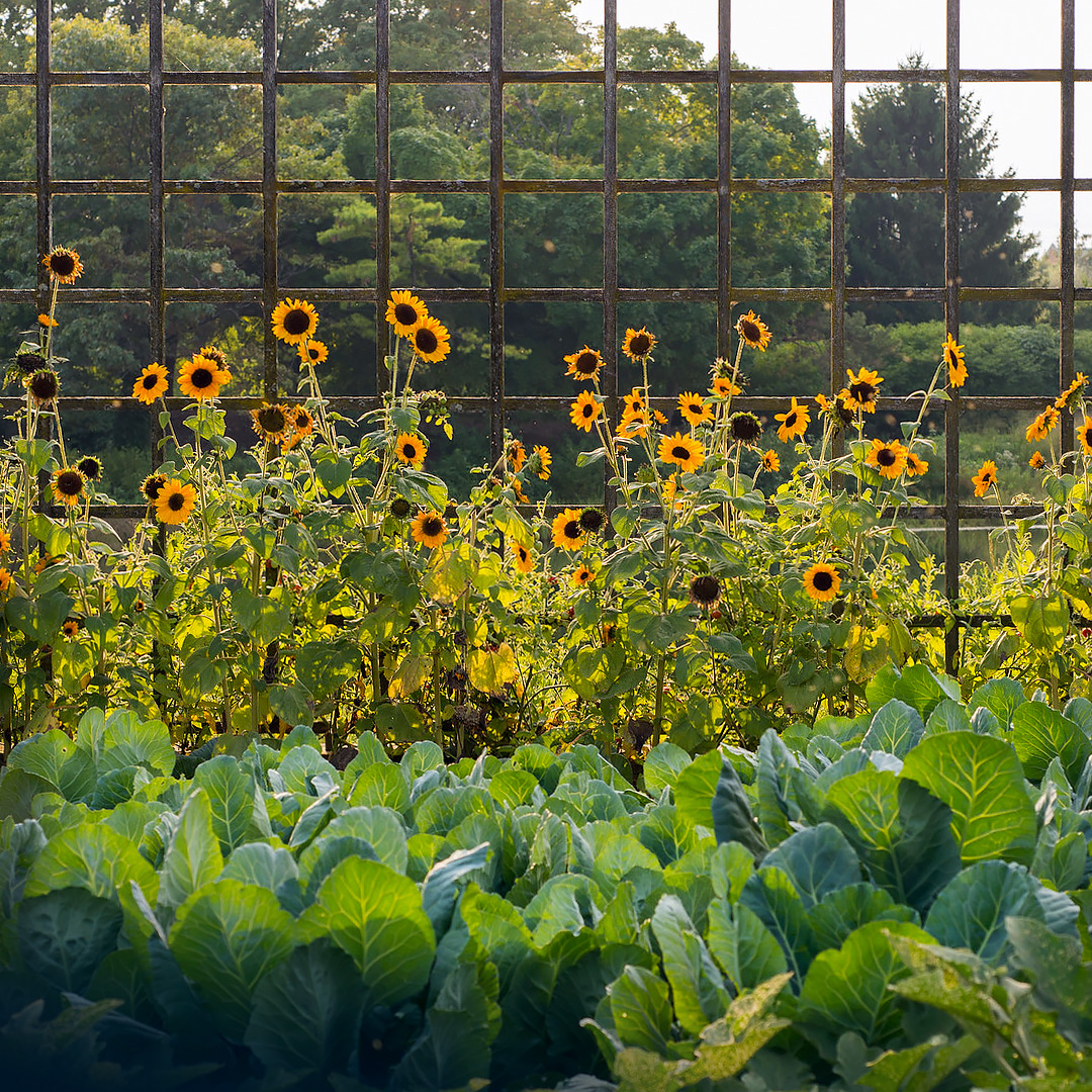 Sunflowers at the Garden