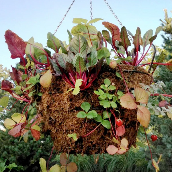 PHOTO: A hanging basket growing a mix of strawberry cultivars and lettuces.