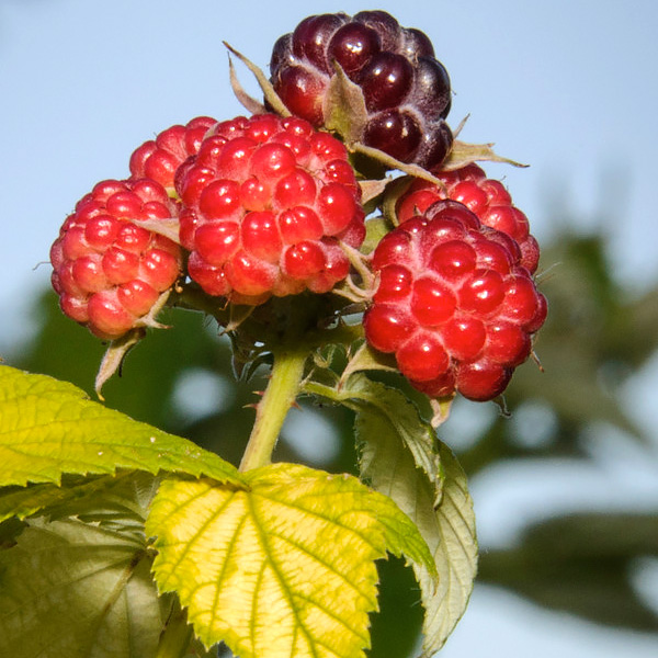 PHOTO: Growing berries in the Garden