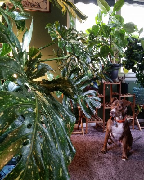 Weaver's dog, Pepin, isn't so sure about the monstera coming along for the move.