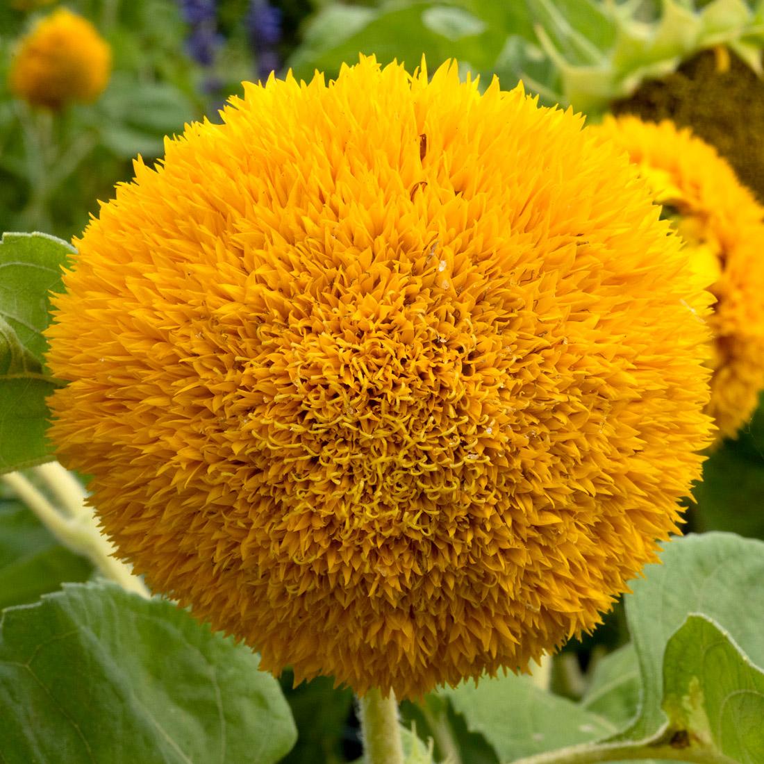 Sunflower Species