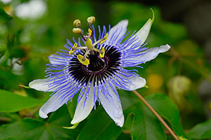 PHOTO: Inspiration Passion Flower