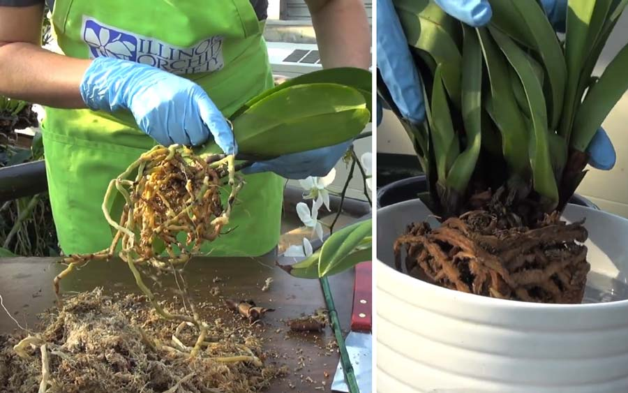 How To Repot Your Phalaenopsis Chicago Botanic Garden