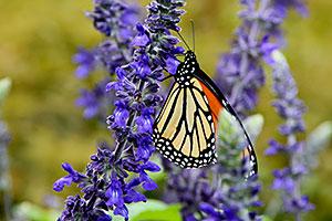 Salvia Evaluation