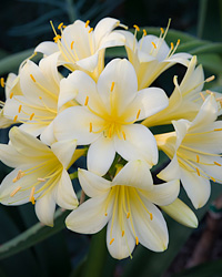 Clivia Plant Care