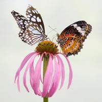 Butterflies on Coneflower