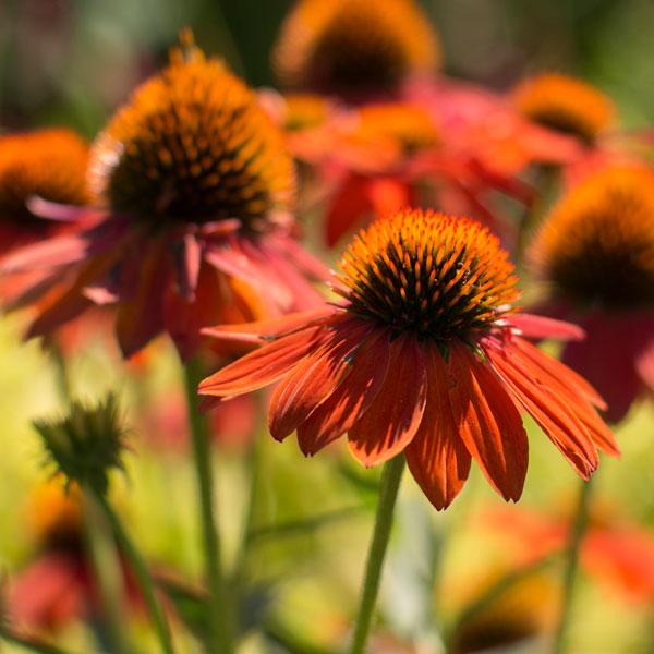 Echinacea 'Balsomador' SOMBRERO™ Adobe Orange