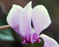 Cyclamen Plant Care