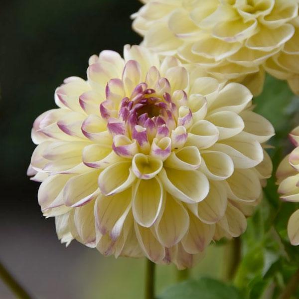 Dahlias | Chicago Botanic Garden