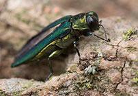 PHOTO: Emerald ash borer.