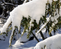 Evergreen shrubs under snow