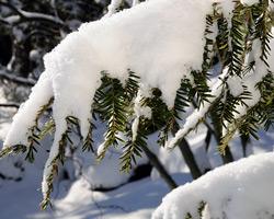 Evergreen shrubs under snow