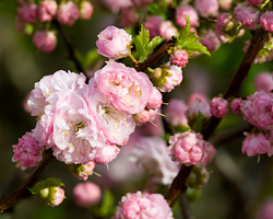 PHOTO: flowering almond branches