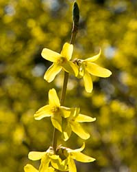 Forsythia April