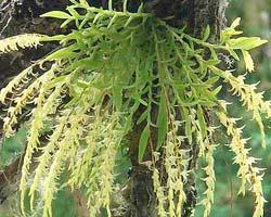 Frondaria caulescens