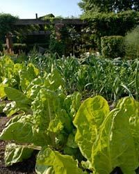 Lettuce June