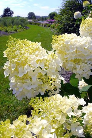 Hydrangeas at the Garden