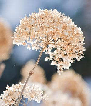 Hydrangeas in Winter