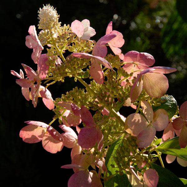 Panicle Hydrangeas