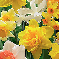 Narcissus Blend – All Spring Mix