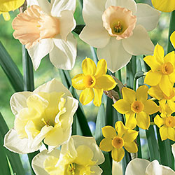 Narcissus Blend – Fragrant Meadow