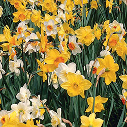 Narcissus Blend – Naturalizing Meadow