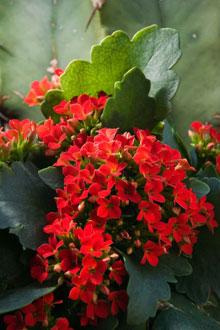 Kalanchoe Blossfeldiana These Bright Little Flowering Plants