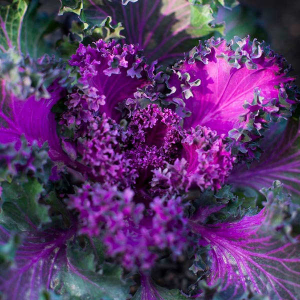 Kale Chicago Botanic Garden