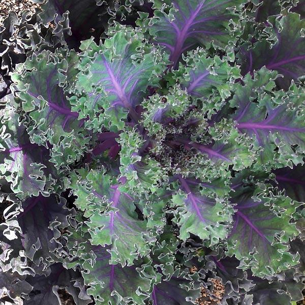 Brassica oleracea 'Purple Rain'