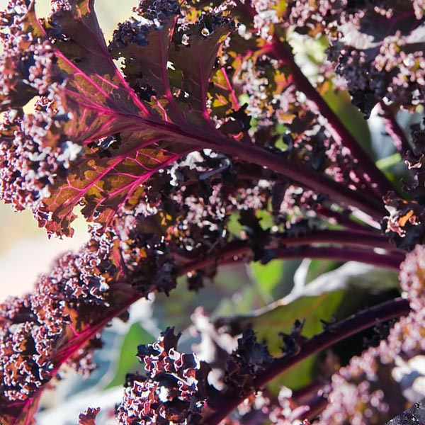 Brassica oleraceae 'Redbor'