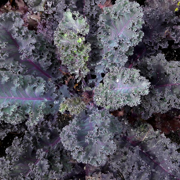 Brassica oleracea 'Scarletbor'