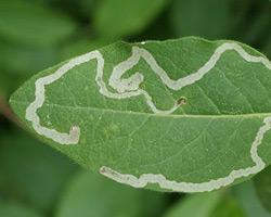 Leaf damage