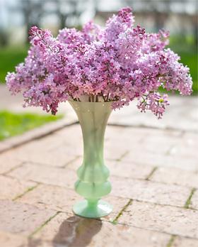 Lilacs Chicago Botanic Garden