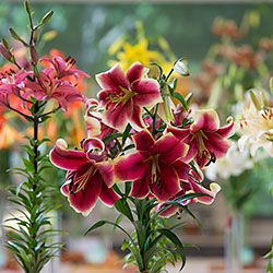 Wisconsin-Illinois Lily Society Lily Bulb Sale